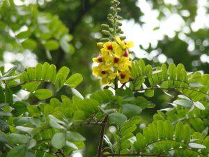 Caesalpinia echinata - © D.R.