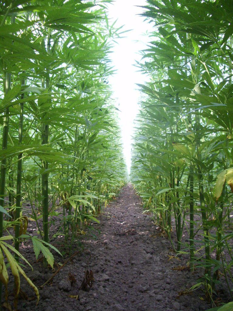 Le chanvre, une plante impressionnante pouvant atteindre 4m de hauteur - © D.R.