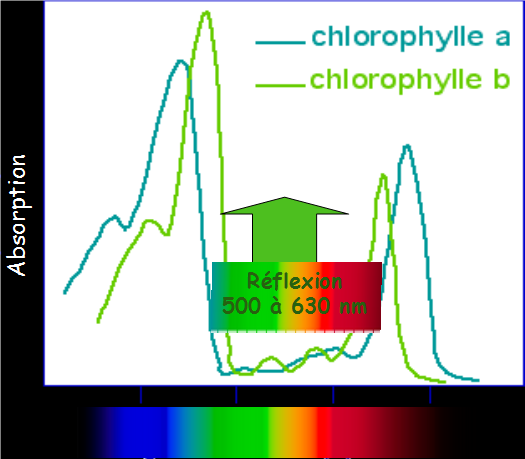 Illustration 2 : Spectre d'absorption des chlorophylles a et b
