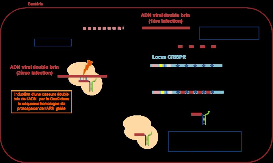 Figure 1 : Mécanisme du système CRISPR/Cas9 bactérien.