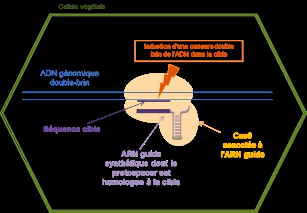 Figure 2 : Le système CRISPR/Cas9 synthétique développé pour l'édition des génomes chez les cellules eucaryotes.