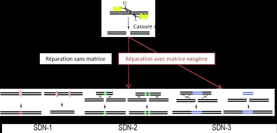 Figure 3 : Les trois types d'évènements produits par édition du génome à l'aide de SDNs comme le système CRISPR/Cas9. SDN1 : réparation induisant une mutation ponctuelle, ou une délétion si deux coupures proches sont générées. SDN2 : remplacement d'un allèle existant par un autre portant une ou quelques modifications. SDN3 : insertion d'un gène nouveau, fondée (ou non) sur des zones d'homologie à la cible portées par la matrice de réparation (Podevin et al., 2013).