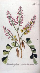 Haematoxylum campechianum- © D.R.