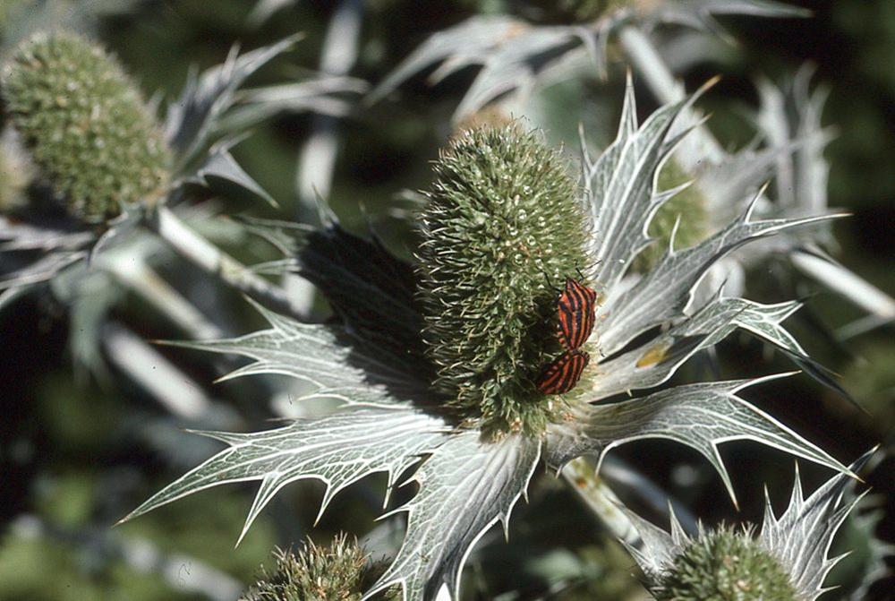 Punaises rayées des ombellifères sur Eryngium giganteum