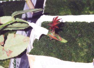 Greffage pour les variétés fleurs coupées : le porte greffe et bouturé puis la variété est greffée en écusson. On voit ici le démarrage du greffon - © N. Dorion