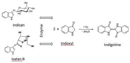 Figure 2 - formation de l'indigotine à partir de ses précurseurs