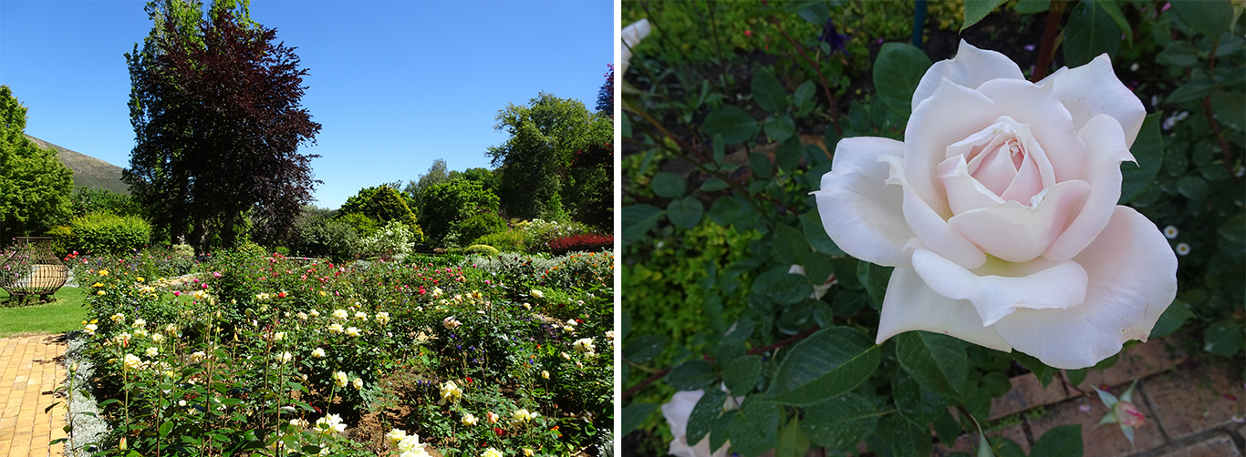 Le jardin de roses et la rose 'Una van der Spuy' dédiée à la créatrice du jardin - © J.-F. Coffin