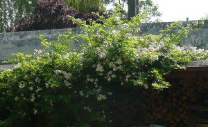 Un Rosa multiflora, un porte-greffe adapté aux sols acides et aux conteneurs - © N. Dorion