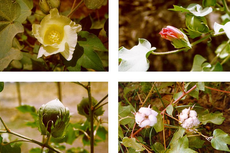 Les différents stades de la fleur de Cotonnier Gossypium hirsutum L. : fleur épanouie, fleur fécondée, capsule verte, capsule à maturité - © Bruno Bachelier-Cirad