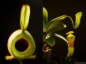 Plus de 550 espèces de plantes carnivores (Nepenthes ampullaria verte à gauche et Nepenthes campanulata) - © D.R.
