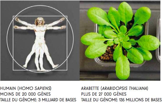 Figure 1. Le paradoxe de la taille du génome et du nombre de gènes qu'il contient.