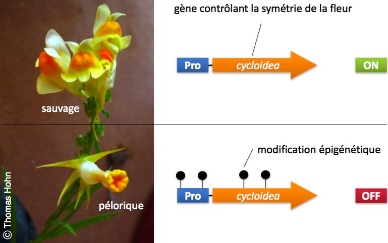 Figure 2. Contrôle épigénétique du développement de la fleur chez la Linaire commune (Linaria vulgaris). En haut: la fleur sauvage (ou prédominante), le gène cycloidea est actif, ce qui permet un développement normal de la fleur. En bas: la fleur pélorique, le gène cycloidea est inactivé par la présence de marques épigénétiques changeant la forme de la fleur.