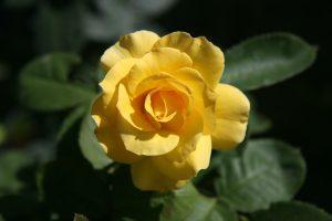 Chez la rose, la couleur jaune des pétales résulte de l'accumulation de caroténoïdes, principalement dans les chromoplastes. Ici, la rose 'All Gold Climbing' - © D.R.