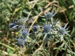 Le panicaut améthyste (Eryngium amethystinum) est originaire du sud-est de l'Europe - © Kriss de Niort