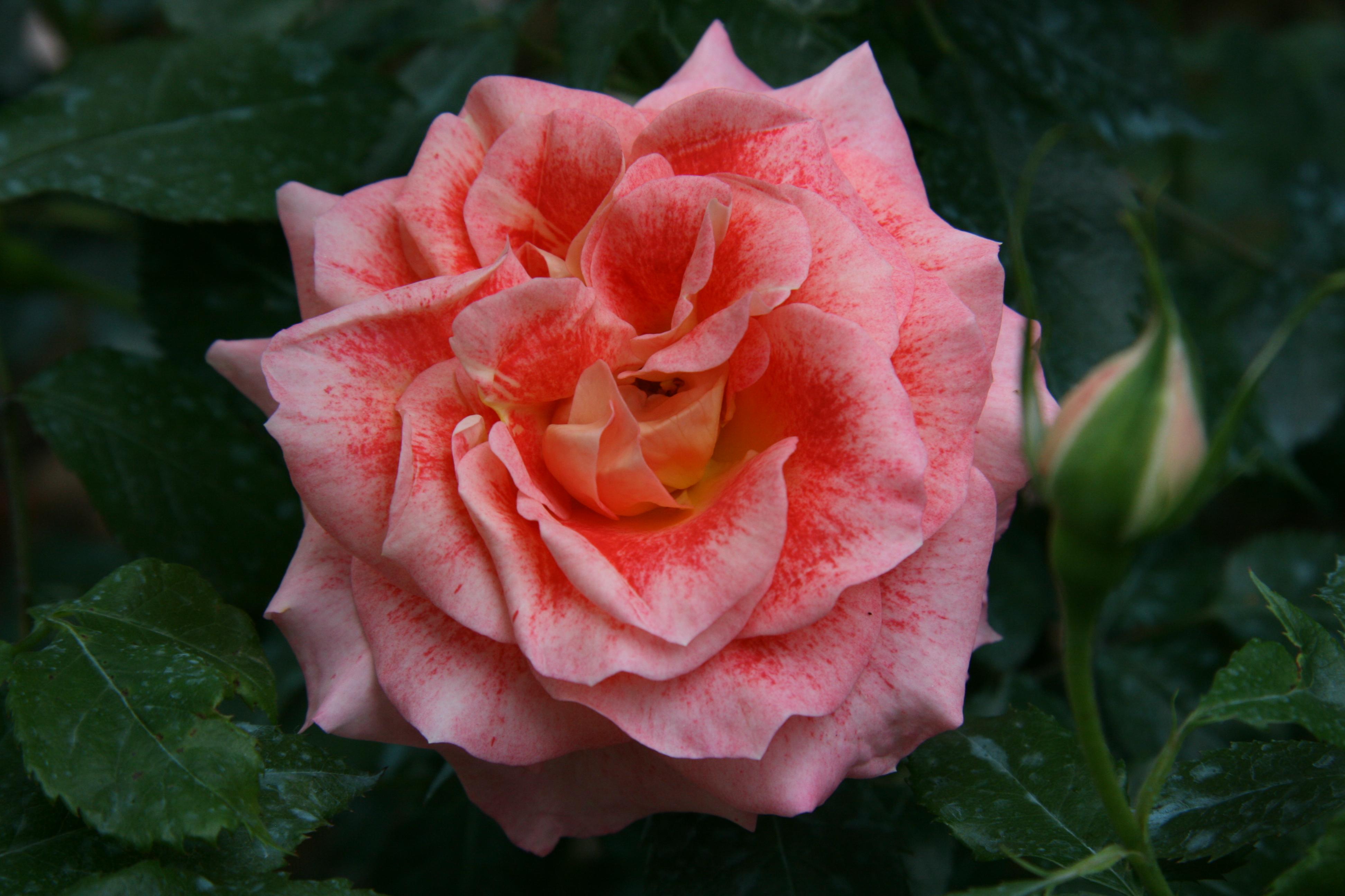 La couleur des roses est le résultat de combinaisons chimiques très complexes. Ici, la rose 'Spangles' - © D.R.