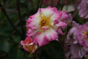 La couleur dépend de régulateurs qui vont impacter la répartition des pigments en secteur ou en dégradé comme chez cette rose 'Tip-Top' - © D.R.