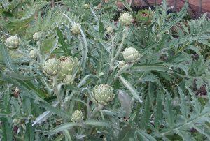 Les légumes à feuilles vertes, comme l'artichaut, se caractérisent par une teneur élevée en fer et en acide folique - © J.-F. Coffin