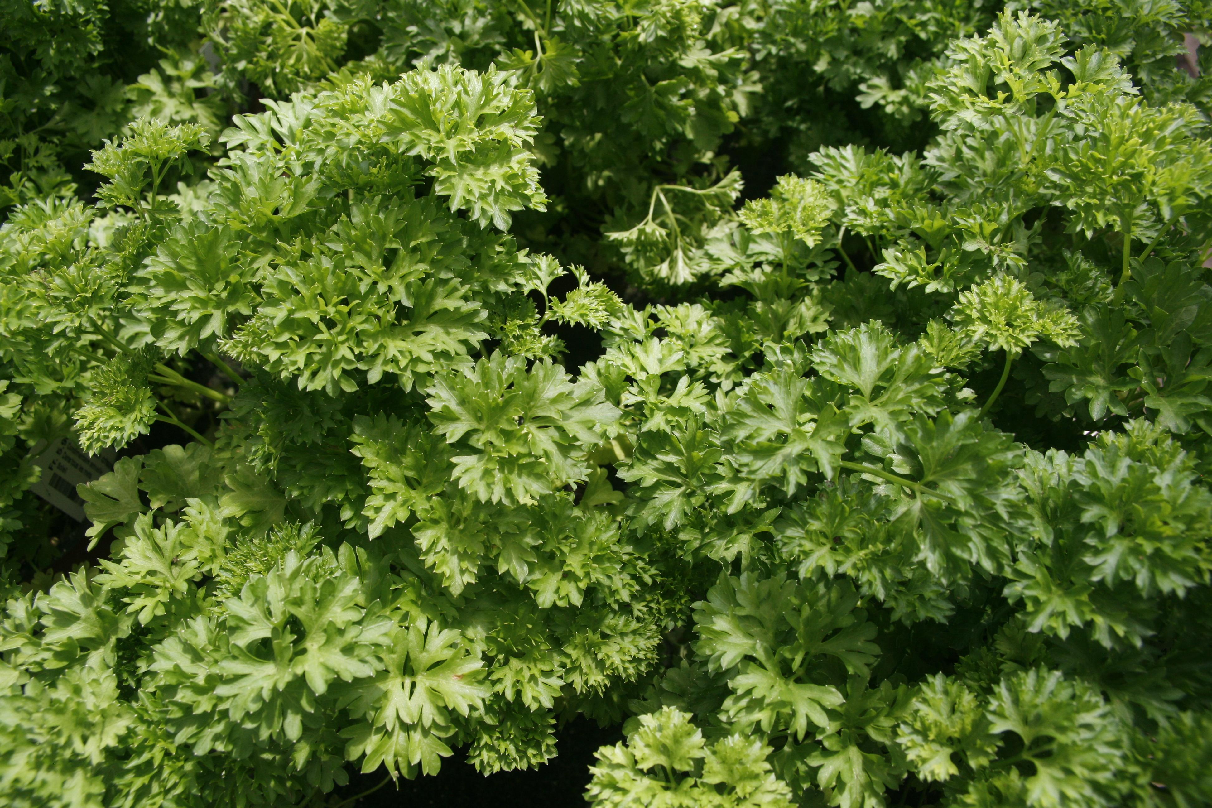 Les légumes feuilles vert, comme le persil, sont riches en vitamine K - © J.-F. Coffin