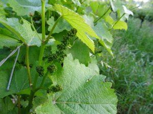 Les viticulteurs appliquent couramment des privations d'eau pour améliorer la qualité de leur production - © J.-F. Coffin