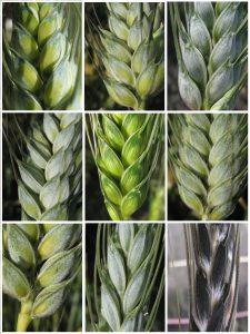 Diversité observée chez les blés durs (T. durum) et apparentés sauvages au centre de ressources génétiques de Clermont-Ferrand - © Emmanuelle Boulat / Audrey Didier - INRA