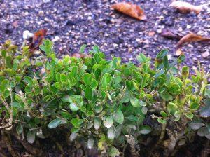 La variété de buis Suffruticosa, utilisée pour les bordures et broderies des jardins à la française, est l'une des plus sensible à la cylindrocladiose - © D.R.