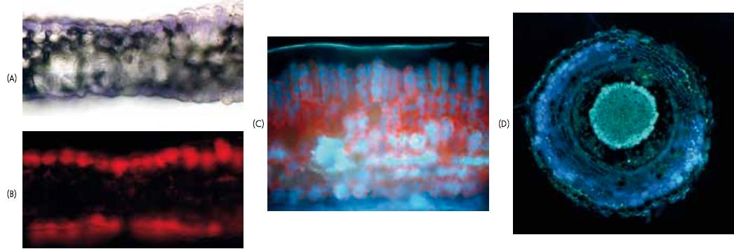 Figure 1 – Observation de coupes transversales : fleur-pétale en lumière normale (A) et en microscopie de fluorescence (B) ; Limbe foliaire (C) et racine (D) en microscopie de fluorescence.
