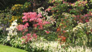 Massif de rhododendrons x Exbury ou «azalées de Chine» - © D.R.