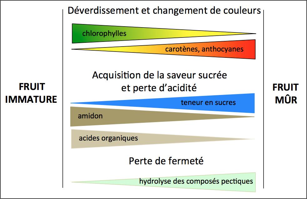 Figure 2. Modifications biochimiques et organoleptiques des fruits au cours de la maturation.