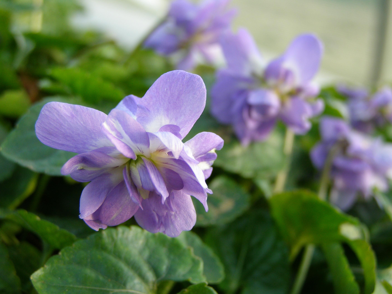 La violette connaît un renouveau grâce à l'imagerie moléculaire. Ici, la violette de Toulouse reconnaissable par ses fleurs doubles - © Aurélie Navarre (ENSFEA)