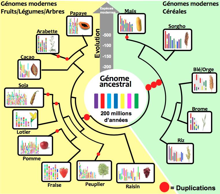Figure 2: Arbre généalogique (branches noires) illustrant l'évolution des génomes (barres verticales colorées) de plantes modernes (rectangles extérieurs) à partir de leurs ancêtres disparus (au centre). Les deux familles principales de plantes à fleurs sont matérialisées à gauche pour les dicotylédones (fond jaune) et à droite pour les monocotylédones (fond vert).