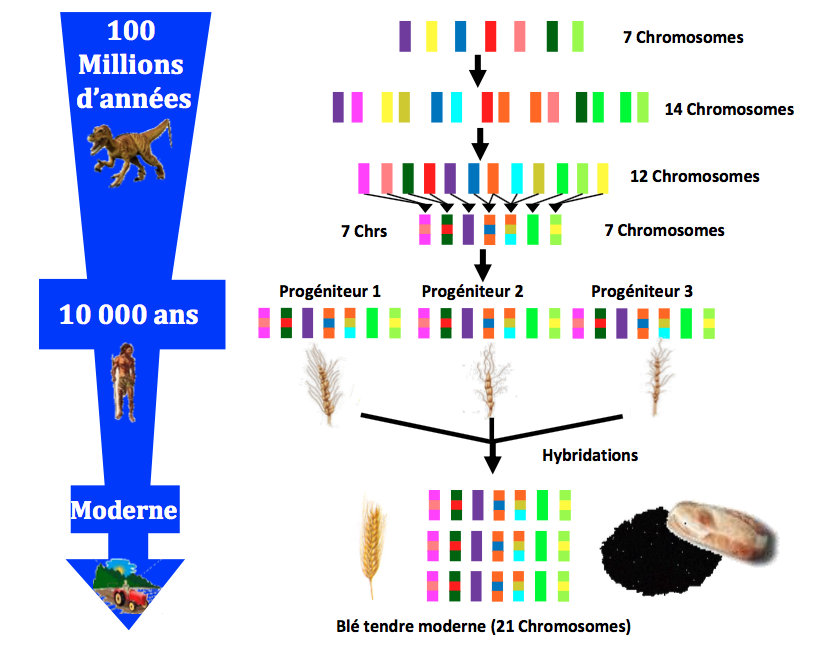 Figure 3: Les génomes modernes sont des 'légos' des génomes ancestraux fondateurs. La figure illustre la genèse, au cours du temps (avec une échelle de temps à gauche en million d'années), du génome moderne de blé tendre (utilisé pour la fabrication du pain, en bas) à partir de l'ancêtre des céréales constitué de 7 chromosomes ancestraux (ici 7 couleurs). Les réarrangements de chromosomes ancestraux à l'origine du blé font apparaître son génome comme un 'Légo' de couleur.