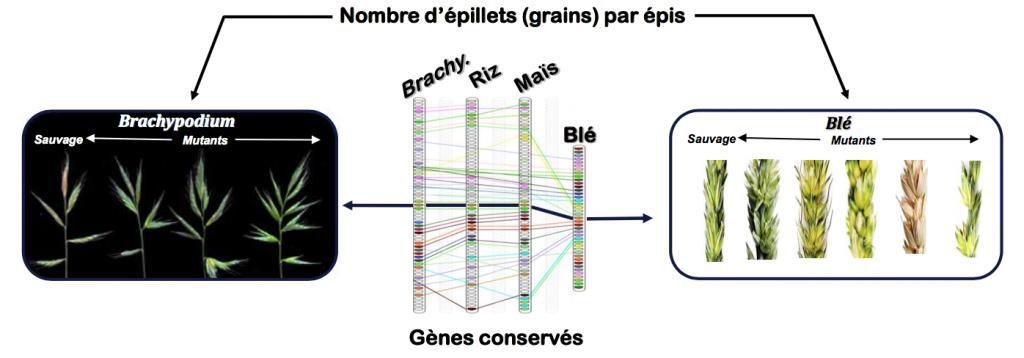 Figure 5: La recherche translationnelle chez les céréales. La figure illustre l'identification chez le blé (à droite) d'un gène impliqué dans une composante du rendement(le nombre de grain par épis, on parle aussi d'épillets), à partir des connaissances acquises chez l'espèce modèle (Brachypodium) sur le gène conservé et impliqué dans le même caractère (à gauche).