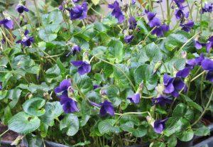 Une des violettes cultivées par Pierre Barandou: 'Mrs. Pinehurst'