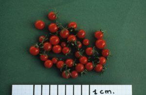 Fruits de l'espèce sauvage de tomate Lycopersicon pimpinellifolium, importante source de gènes de résistance aux maladies et de caractères d'adaptation à différents milieux - © Henri Laterrot / Inra Provence-Alpes-Côte D'azur