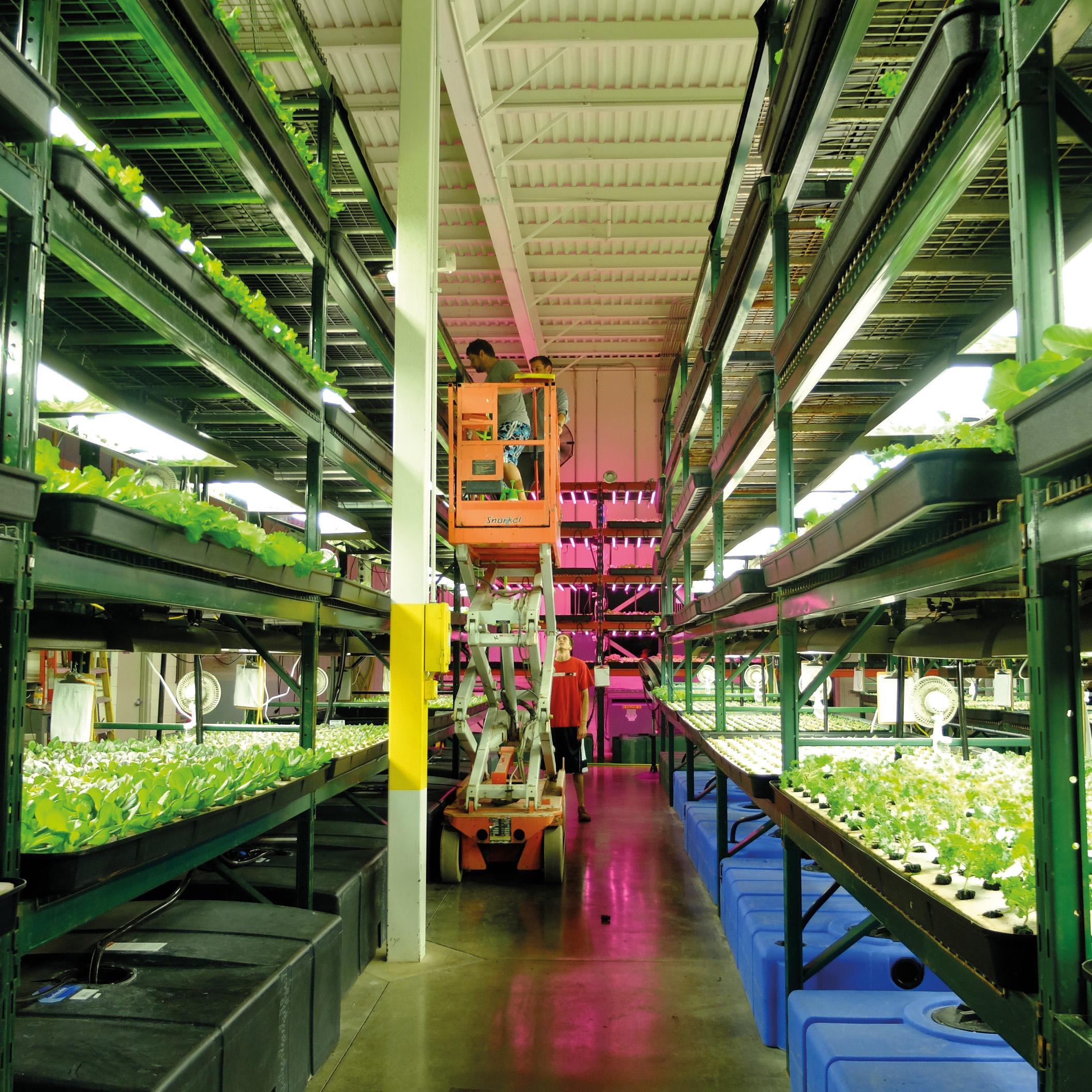 Dans certaines fermes urbaines high-tech, le végétal, surtout des légumes feuilles, pousse entièrement sous atmosphère contrôlée et lumière artificielle. Green Spirit Farm. Michigan (États-Unis). 2015 - © Elise Fargetton