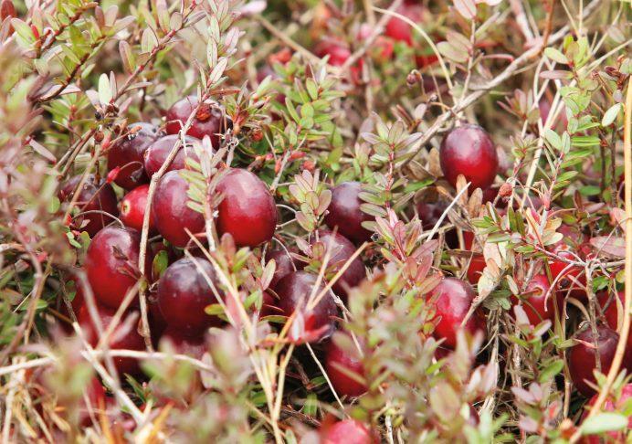 En France, on appelle simplement la canneberge « grande airelle rouge d'Amérique du Nord ». Tous les botanistes s'accordent sur la désignation Vaccinium macrocarpon (aux États-Unis ou au Canada) - © Centre d'interprétation de la canneberge , Saint- Louis de Blandford (Québec)