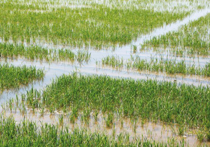 Les améliorations potentielles des cultures n'ont pas encore été soumises à l'épreuve du temps à l'échelle des écosystèmes. Quelles surprises nous réserverait un riz, plante C3, devenu plante C4 ? Ici, un champ de riziculture en Camargue. - © Christian Slagmulder, Inra