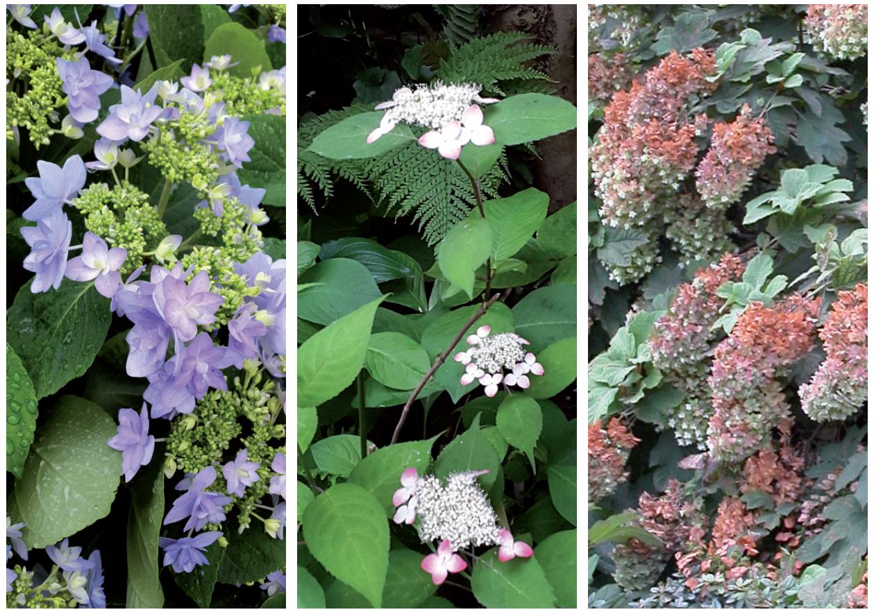 Hydrangea macrophylla 'Romance', Hydrangea serrata 'Kurenaï', Hydrangea quercifolia 'SnowFlake'