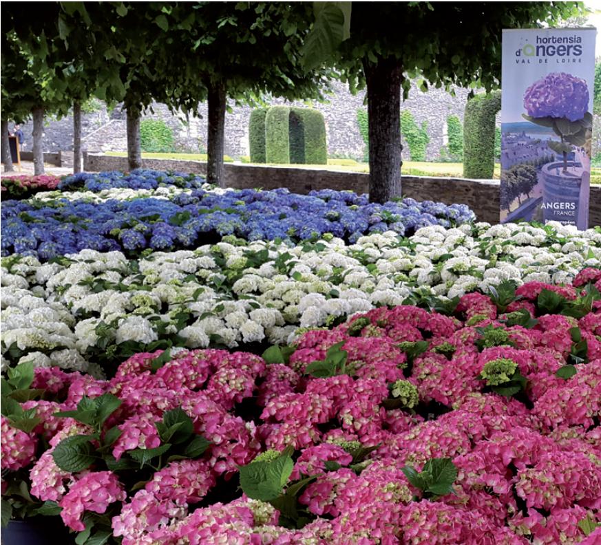 Hydrangea macrophylla dans la cour du Château d'Angers en 2016