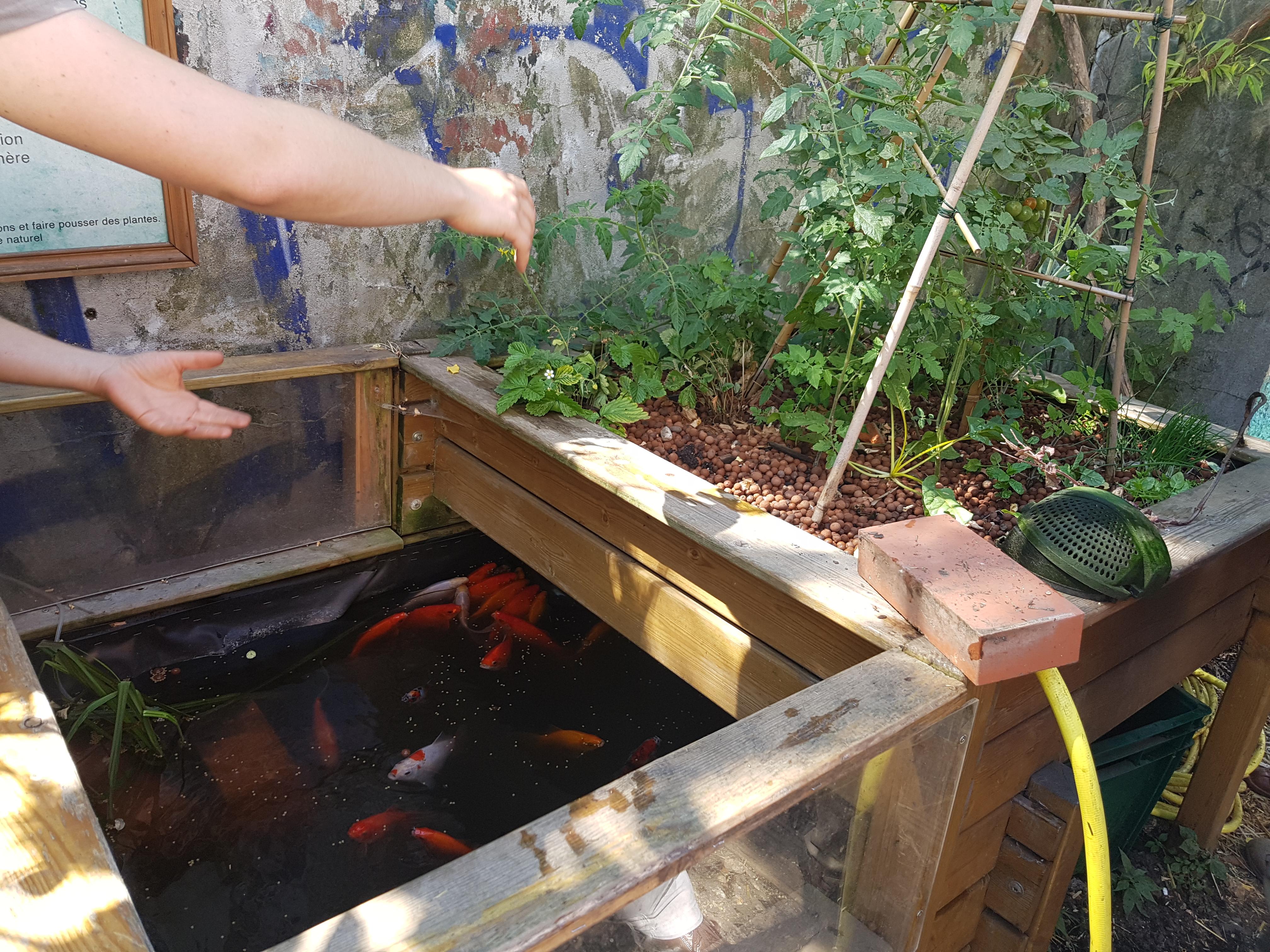L'eau sert à la fois de support d'élevage aux poissons et de solution fertilisante pour les végétaux - © Jaubert