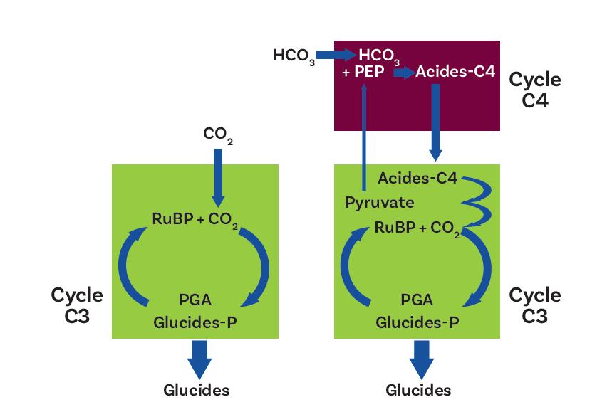 Figure 3. Métabolismes photosynthétiques chez les plantes supérieures de type C3 (à gauche) et de type C4 (à droite) La voie C3 est commune aux deux types de plantes. Le cycle C4 permet de concentrer le CO2 au voisinage de la Rubisco, favorisant ainsi son activité carboxylase. PGA : acide phosphoglycérique ; RuBP : ribulose bisphosphate ; PEP : phosphoénolpyruvate ; HCO3 : bicarbonate.