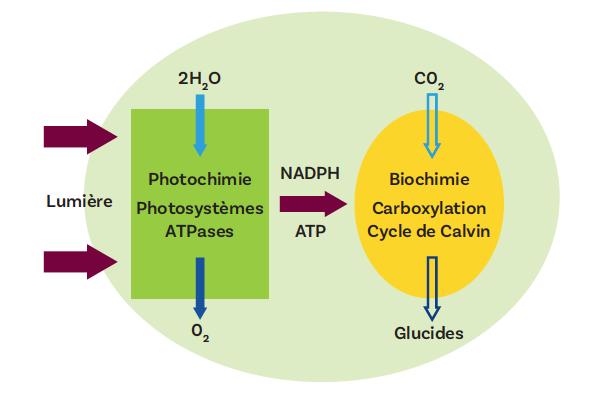 Figure 1. Les deux phases de la photosynthèse La phase photochimique (en vert) permet la production, à partir de l'énergie de la lumière solaire, de pouvoir réducteur et d'ATP. La phase métabolique (en jaune) entraîne la fixation du carbone du CO2 et l'élaboration de composés organiques