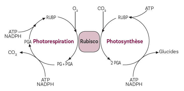 Figure 2. La photosynthèse et la photorespiration : deux fonctions imbriquées l'une dans l'autre Figure extraite de Biologie Végétale tome I Nutrition et Métabolisme, J-F Morot-Gaudry Dunod 2017 3e édition