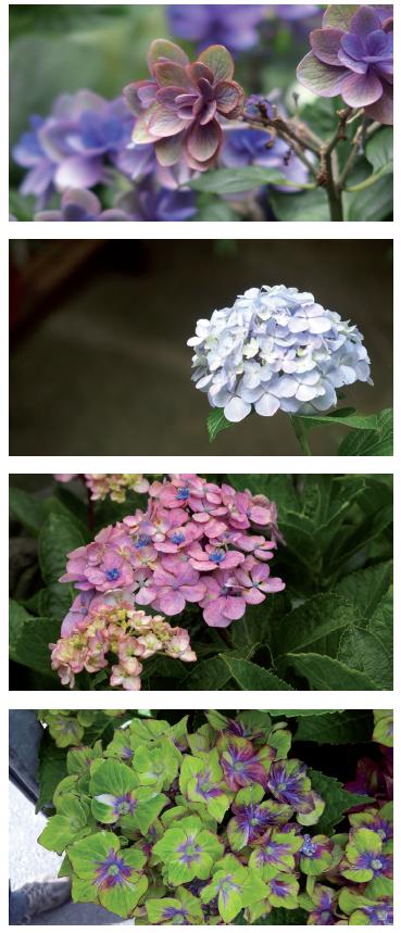 Variabilité des inflorescences H. macrophylla