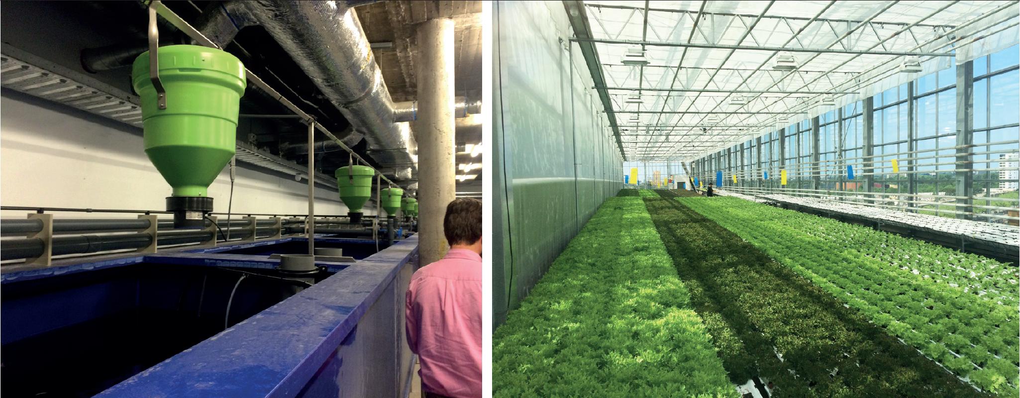 Alors que tomates et salades s'épanouissent sous les serres de la toiture, les poissons sont élevés juste en dessous, leurs déjections iront fertiliser les cultures. Urban Farmers. La Haye. Pays-Bas. 2017 - © Guillaume Morel-Chevillet