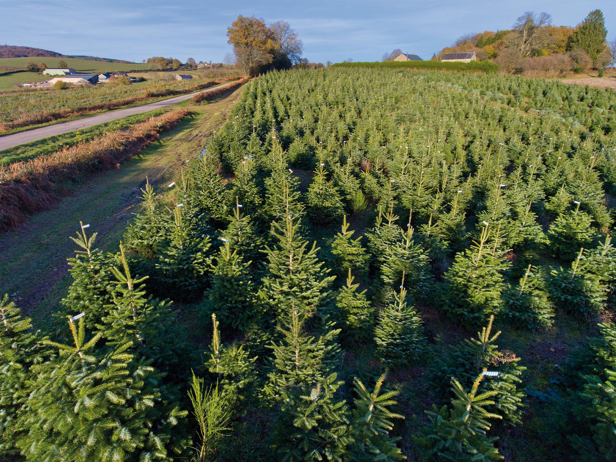 Le sapin de Noël est issu d'une véritable culture agricole - © VAL'HOR/AFSNN-S. Barthélémy