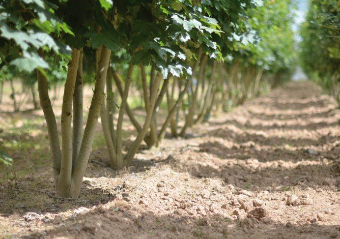 Acer platanoides élevé en cépée pour former, par exemple, des haies basses - © Pépinières du Val d'Erdre