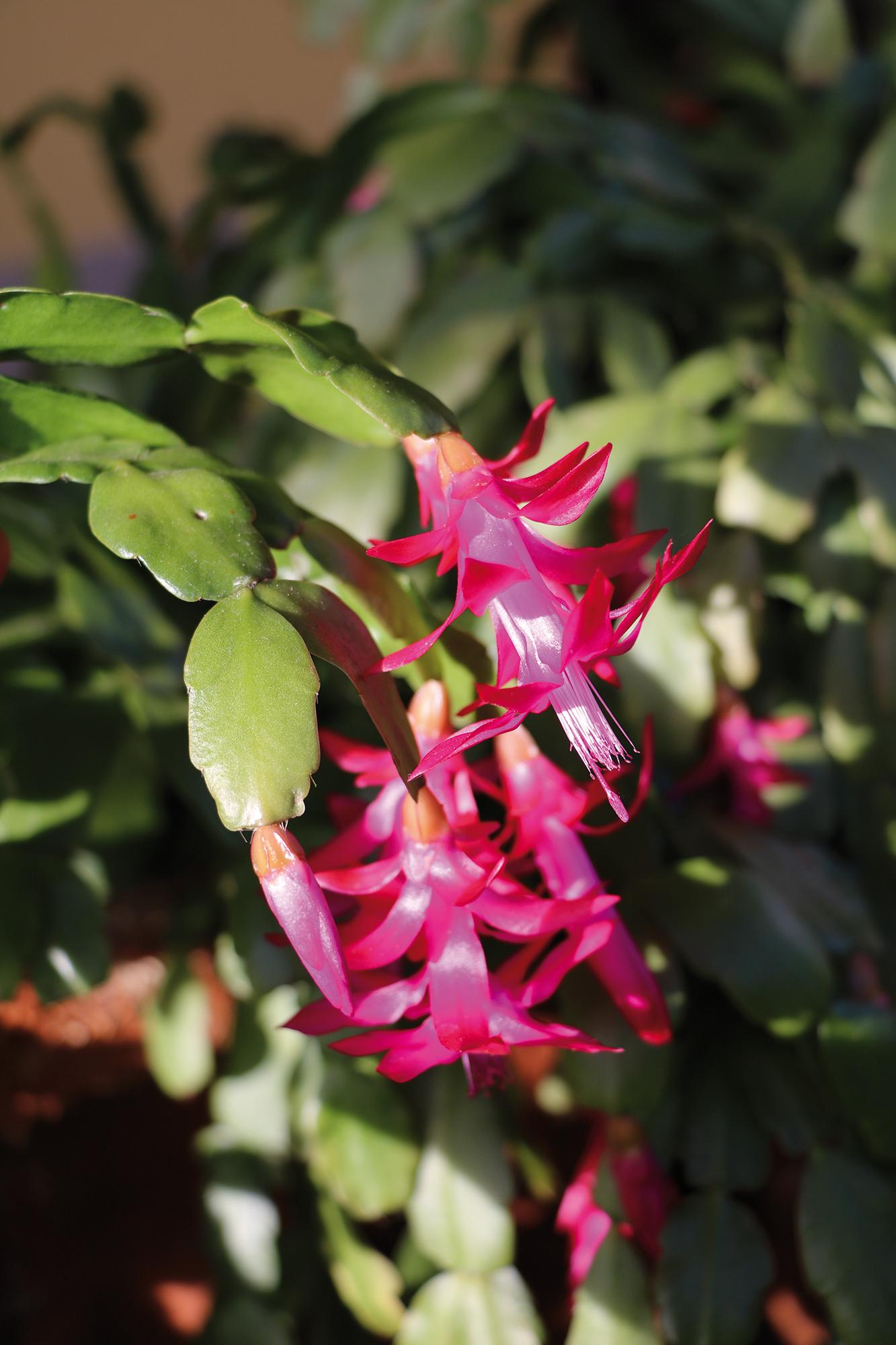 Fleurs rouges de Schlumbergera truncata - © ClaraNila - Adobe stock