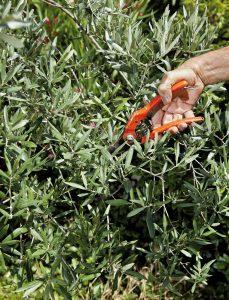 Il ne faut jamais faire une taille sévère, et jamais plus d'un tiers de la surface foliaire présente - © delkoo Adobe stock