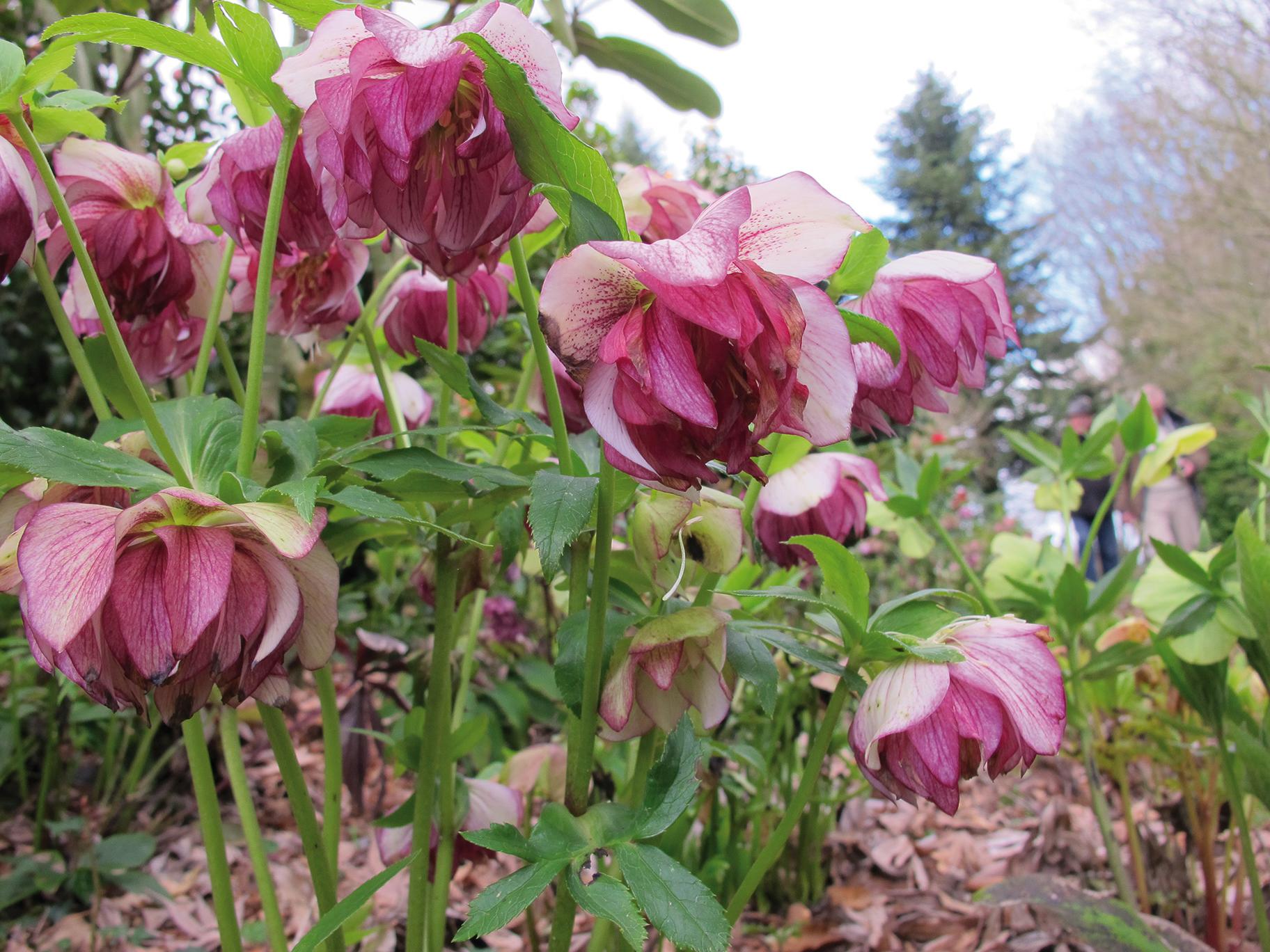 Hellebore Rose De Noel Entretien surprises végétales hivernales aux floraisons